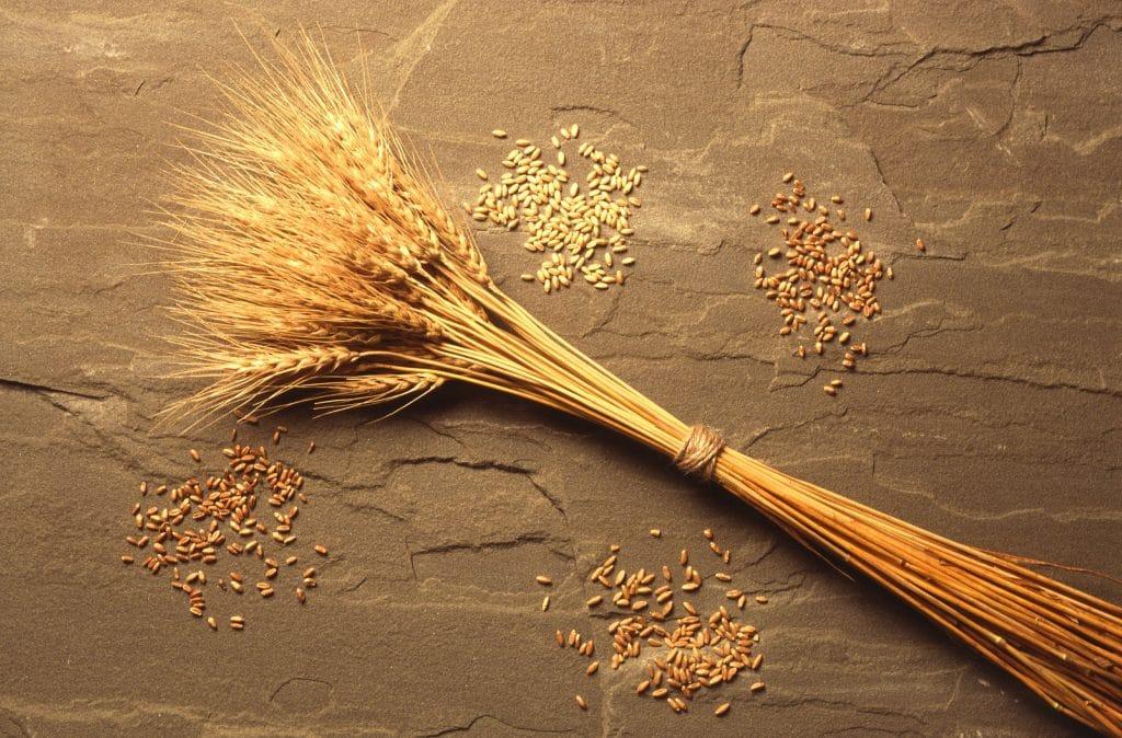 cos'è il glutine - spighe di grano in un mazzo su sfondo marrone